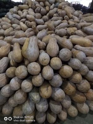 贵州省贵阳市花溪区金韩蜜本南瓜 10~15斤 长条形