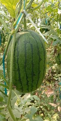 山东省聊城市东昌府区吊西瓜 有籽 1茬 9成熟 2斤打底