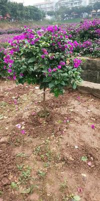 四川省宜宾市翠屏区紫花三角梅 0.5~1.0米