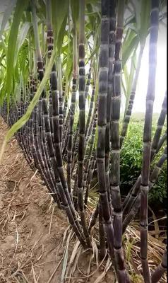 河南省商丘市睢阳区黑皮甘蔗 2 - 2.5m 4 - 5cm