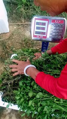 这是一张关于大叶豆瓣菜的产品图片