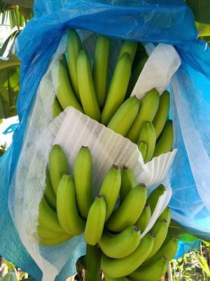广西壮族自治区钦州市浦北县巴西香蕉 七成熟 40 - 50斤