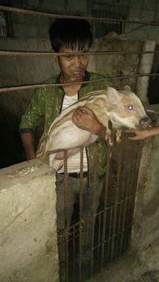 贵州省毕节市赫章县特种野猪 20-30斤 统货