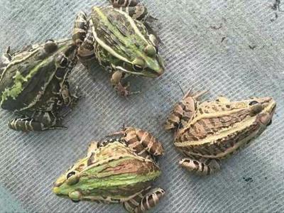 贵州省黔东南苗族侗族自治州黄平县黑斑蛙