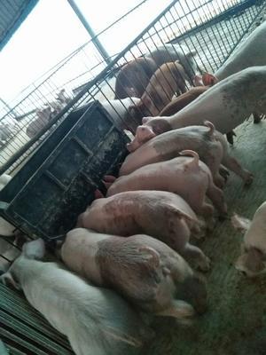 广西壮族自治区桂林市全州县外三元仔猪