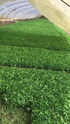 江苏省无锡市惠山区青蒜蒜苗 40cm以下