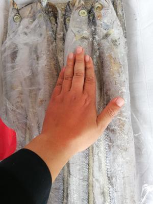 山东省日照市东港区东海带鱼 野生 0.5公斤以下