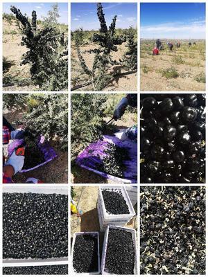 青海省海西蒙古族藏族自治州格尔木市黑枸杞 统货