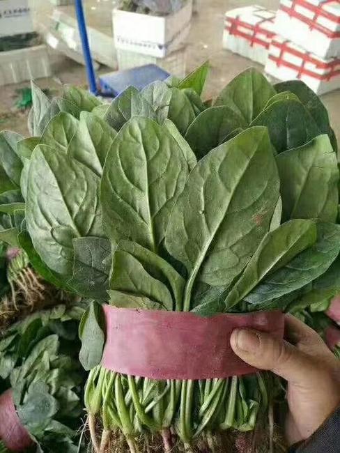 大叶菠菜 20~25cm图片