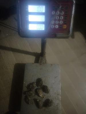 这是一张关于诏安湾生蚝 人工殖养 1-2两/只 的产品图片