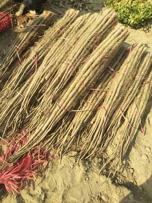 灞变笢鐪佽弿娉藉競鏇瑰幙閾佹灞辫嵂 30~40cm