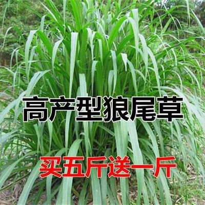 江苏省徐州市新沂市狼尾草种子