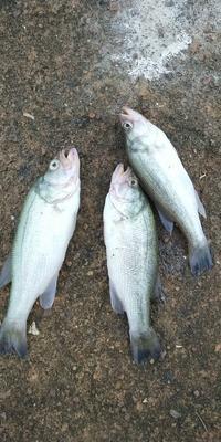 广西壮族自治区崇左市扶绥县加州鲈鱼 人工养殖 1-1.5公斤
