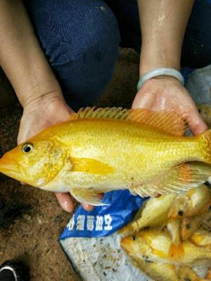 四川省成都市双流县黄金石斑鱼 人工殖养 0.5公斤以下