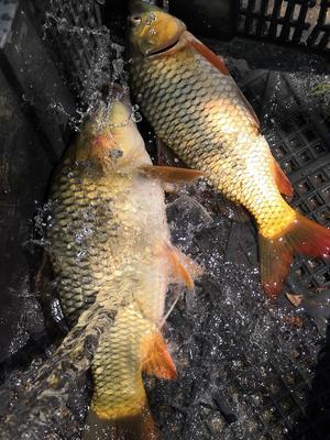 广西壮族自治区来宾市武宣县池鲤鱼 人工养殖 0.25-1公斤