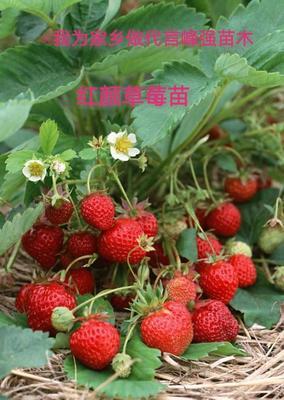 这是一张关于红颜草莓苗 地栽苗 10~20公分的产品图片