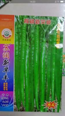 山东省临沂市兰陵县线椒种子 97%以上 良种