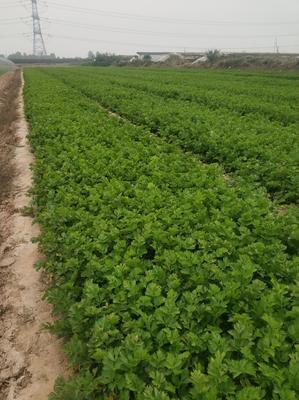 陕西省西安市高陵县加州王芹菜 60cm以上 露天种植 0.5~1.0斤
