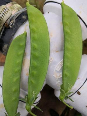 这是一张关于荚豆 12cm以上的产品图片