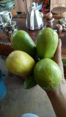 广西壮族自治区钦州市灵山县台湾香水柠檬 2 - 2.6两