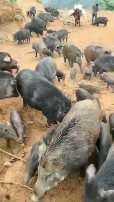江苏省宿迁市沭阳县藏香猪猪苗