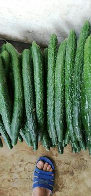云南省临沧市耿马傣族佤族自治县刺黄瓜 30cm以上 鲜花带刺