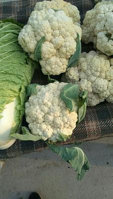 河北省保定市定州市白面青梗松花菜 松散 3~4斤 乳白色