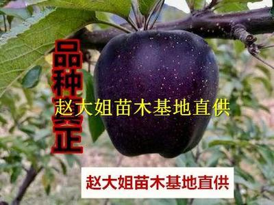 黑钻苹果树苗 1~1.5米