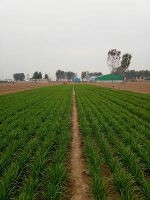 河南省安阳市滑县寒绿王韭菜 二茬 30~35cm