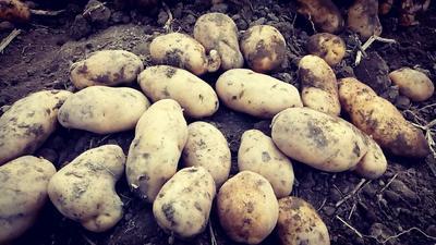 这是一张关于荷兰15号土豆 4两以上的产品图片