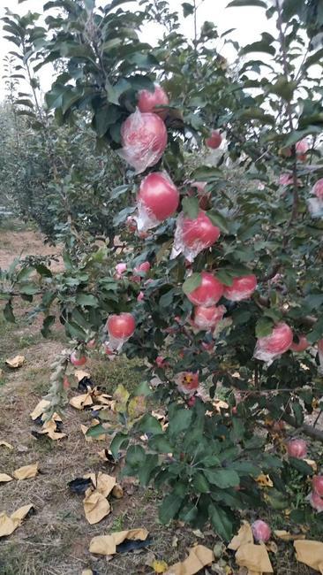 红富士苹果 纸+膜袋 全红 80mm以上