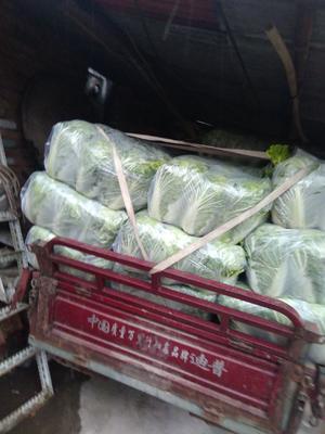 河北省张家口市宣化区北京新三号白菜 6~10斤 净菜