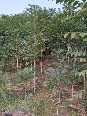 四川省达州市大竹县红油香椿苗 2~4公分