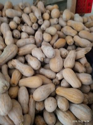 贵州省贵阳市花溪区蜜本南瓜 6~10斤 长条形
