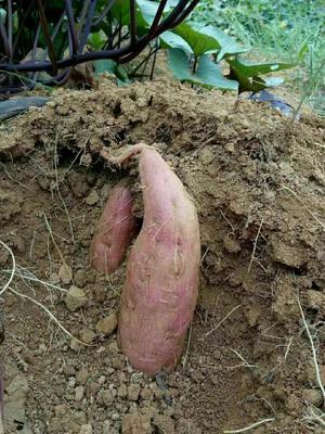 湖南省郴州市宜章县一点红红薯 红皮 混装通货