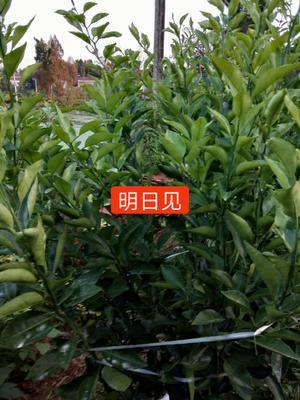 四川省资阳市雁江区柑树苗 0.5米以下