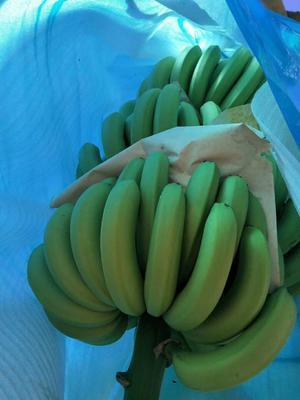 云南省红河哈尼族彝族自治州金平苗族瑶族傣族自治县威廉斯香蕉 八成熟 40 - 50斤
