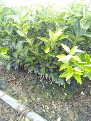 广西壮族自治区桂林市阳朔县夏橙树苗 嫁接苗 0.5~1米