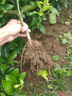 广西壮族自治区桂林市平乐县早熟沙糖桔苗 嫁接苗 0.2米以下