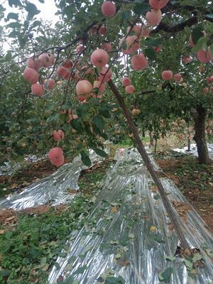 山东省烟台市栖霞市红富士苹果 纸袋 条红 80mm以上