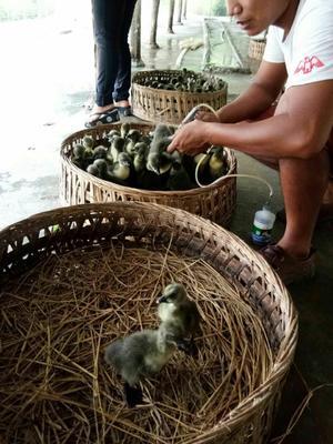 广西壮族自治区北海市合浦县狮头鹅苗