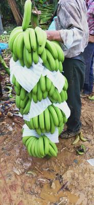 广西壮族自治区南宁市隆安县巴西香蕉 七成熟 40 - 50斤