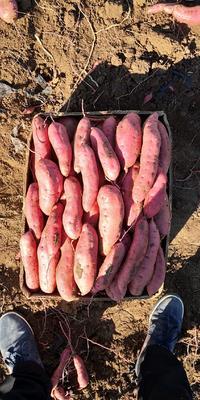 辽宁省锦州市凌海市早丰红薯 红皮 混装通货