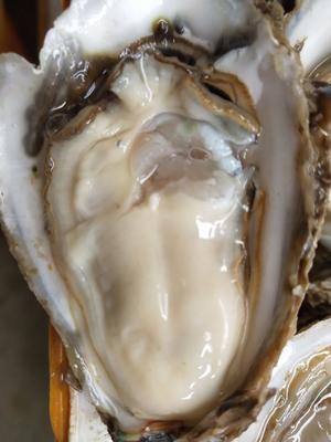 这是一张关于福建生蚝 人工殖养 2-3两/只的产品图片