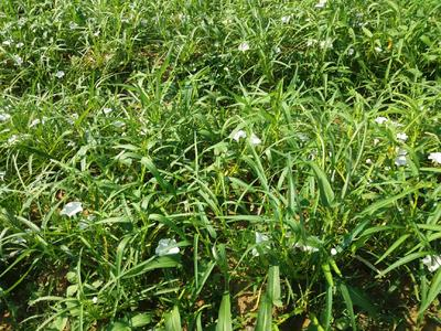 广西壮族自治区玉林市博白县空心菜种子