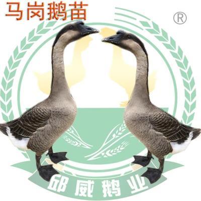 这是一张关于马岗鹅苗的产品图片