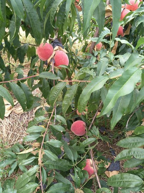 映霜红蜜桃 70mm以上 3 - 4两