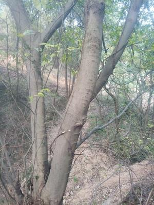 湖北省黄冈市武穴市丛生朴树