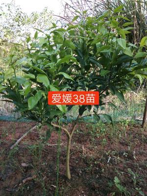 四川省资阳市雁江区爱媛38号柑桔苗 移栽苗 0.5~1米