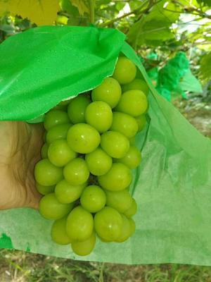 这是一张关于夏日阳光葡萄苗的产品图片